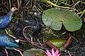 Purple swamphen (porphyrio porphyrio poliocephalus) & chick.jpg