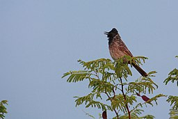 Pycnonotus cafer -Pune, Maharashtra, India -singing-8.jpg
