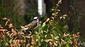 Pycnonotus sinensis - panoramio (005).jpg