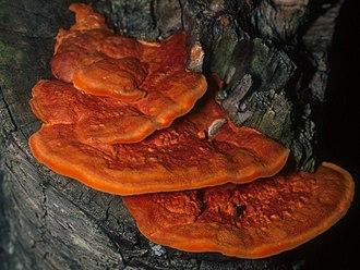 Pycnoporus cinnabarinus - Image: Pycnoporus cinnabarinus (Jacq.) P. Karst 153