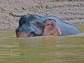 Pygmy Elephant (Elephas maximus borneensis) (8066931219).jpg