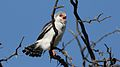 Pygmy falcon, or African pygmy falcon, Polihierax semitorquatus, at Kgalagadi Transfrontier Park, Northern Cape, South Africa. (34384167891).jpg