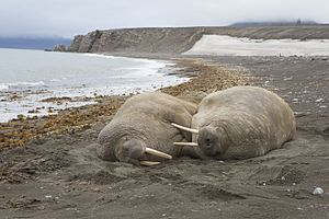Severny Island - Walruses resting on the shore of Severny Island.
