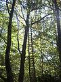 Quercus petraea Navarra(4).JPG
