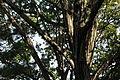 Quercus serrata (21981408474).jpg