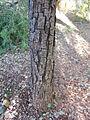 Quercus virginiana, bark.jpg