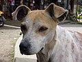 Quiet brown dog (3294346629).jpg