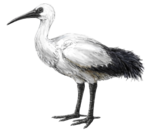 Life restoration of the Réunion ibis