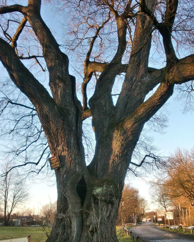 Simpodiale wikipedia for Tiglio albero