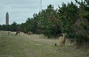 Robert Moses State Park (Long Island) - Deer in Robert Moses State Park in March 2013.