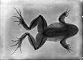 Radiograph; frog with a broken leg that has healed. Wellcome L0000620EA.jpg