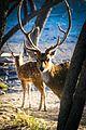 Ranthambor Spotted Deer.jpg