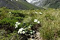 Ranunculus lyallii kz10.jpg