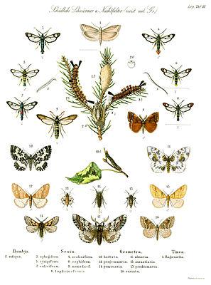 """Kolorierter Stich mit forstschädlichen Schmetterlingen von Tieffenbach aus Ratzeburgs """"Die Waldverderbnis"""" (1866)"""