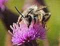 Rauhfüßige Hosenbiene Männchen Dasypoda hirtipes 160703-0457 TegelFließ SOOC2.jpg