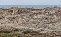 Red-billed gull colony, Kaikōura, New Zealand 07.jpg