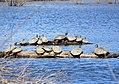Red-eared sliders and painted turtles (25360117073).jpg