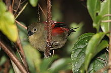 Red-faced crimsonwing, Cryptospiza reichenovii, Seldomseen, Vumba, Zimbabwe - female (21309968393).jpg