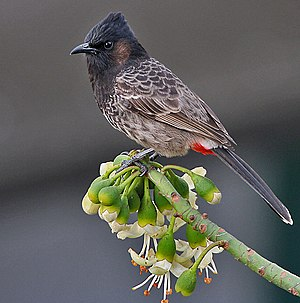 Red-vented bulbul - Image: Red vented Bulbul (Pycnonotus cafer) feeding at Kapok (Ceiba pentandra) at Kolkata I IMG 2535