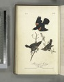 Red-winged Starling. 1. Male Adult. 2. Young Male. 3. Female. (Red Maple) (NYPL b13559627-108476).tiff