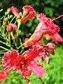 Red Chinese hibiscus (Hibiscus rosa-sinensis), Telok Blangah Hill Park, Singapore - 20090228.jpg