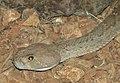 Red Diamondback Rattle Snake Image 003.jpg