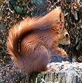 Red Squirrel - Flickr - Squeezyboy.jpg