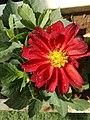 Red flower 41.jpg