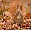 Red squirrel (49495838596).jpg