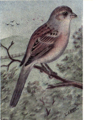 Reed-field-sparrow.png