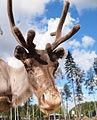 Reindeer head.jpg