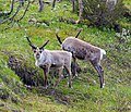 Reindeer in Ljungdalen 2012b.jpg