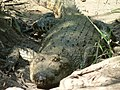 Reptile Salt Water Crocodile P1110400 10.jpg