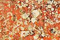 Restes de coquillages et d'algues sur un voile de quille (17).JPG