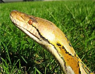 Reticulated python - P. reticulatus head