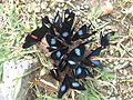 Reunión de mariposas en Buga.JPG