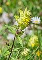 Rhinanthus alectorolophus in Taninges (2).jpg