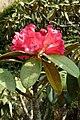 Rhododendron arboreum subsp. nilagiricum (2).jpg