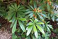 Rhododendron calophytum var. openshawianum - UBC Botanical Garden - Vancouver, Canada - DSC08093.jpg
