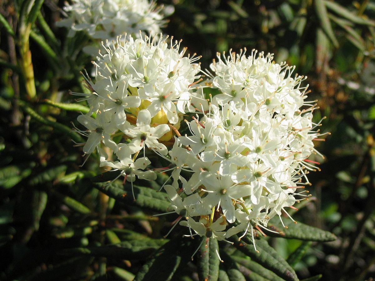Rhododendron Groenlandicum Wikipedia