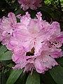 Rhododendron smirnowii1UME.jpg