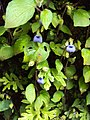 Rhynchoglossum obliquum 03.JPG
