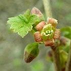 Ribes nigrum 2019-04-11 9539.jpg