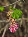 Ribes sanguineum (4360185049).jpg
