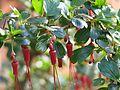 Ribes speciosum - Flickr - peganum (4).jpg