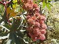 Ricinus communis fruit.JPG