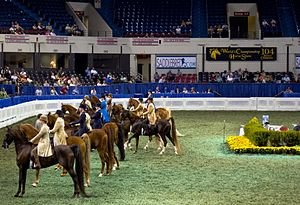 Kentucky State Fair World's Championship Horse Show - A class of American Saddlebreds and riders at the World's Championship Horse Show.