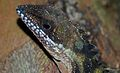 Robinson's Angle-head Lizard (Gonocephalus robinsonii) (8746940253).jpg