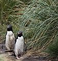 Rockhopper Penguins on West Point Island (5545427673).jpg