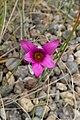Romulea rosea kz2.jpg